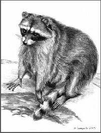 Енот-полоскун, 2003 г, Марина Ефремова, Рисунки животных, Московский зоопарк