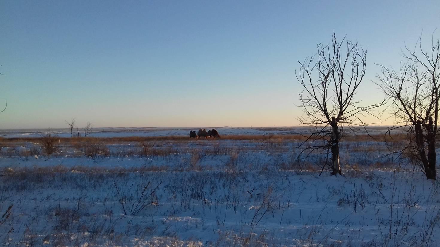 Верблюды в степи зимой. Западная часть Калмыкии, ноябрь 2016