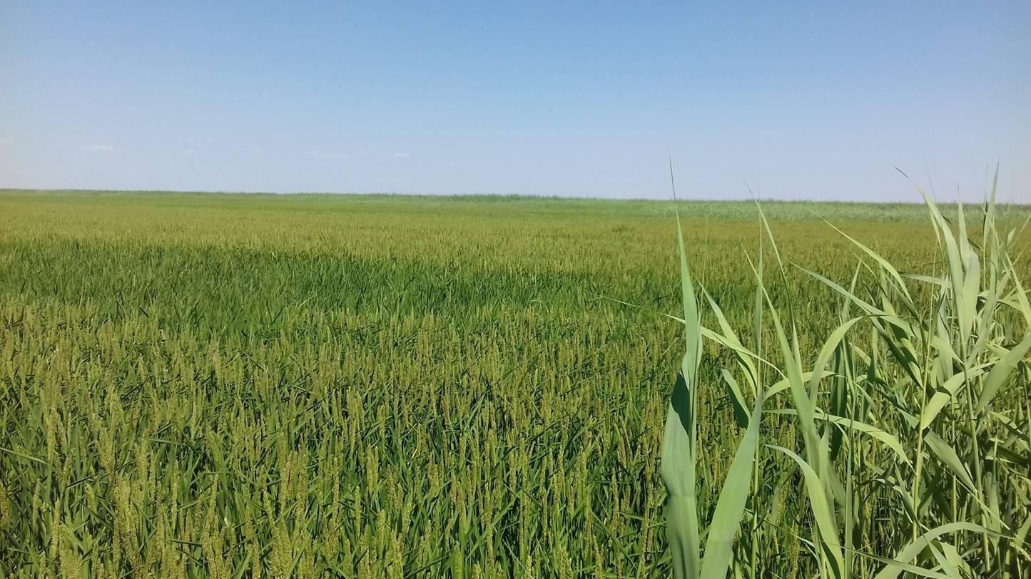 Рисовое поле. Север Калмыкии Август 2017