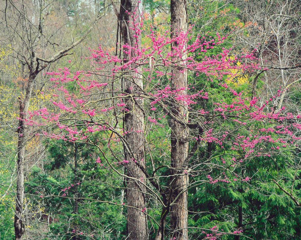 Redbud Garland, Virginia