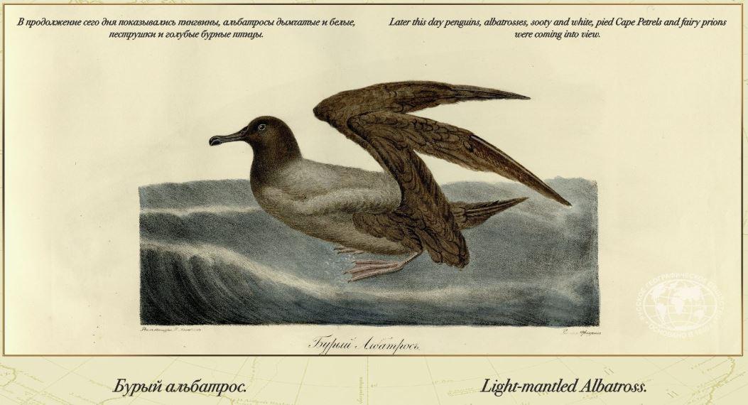 Бурый альбатрос
